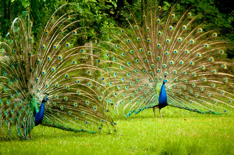twin-peacocks-two-male-showing-their-true-colors-31460566